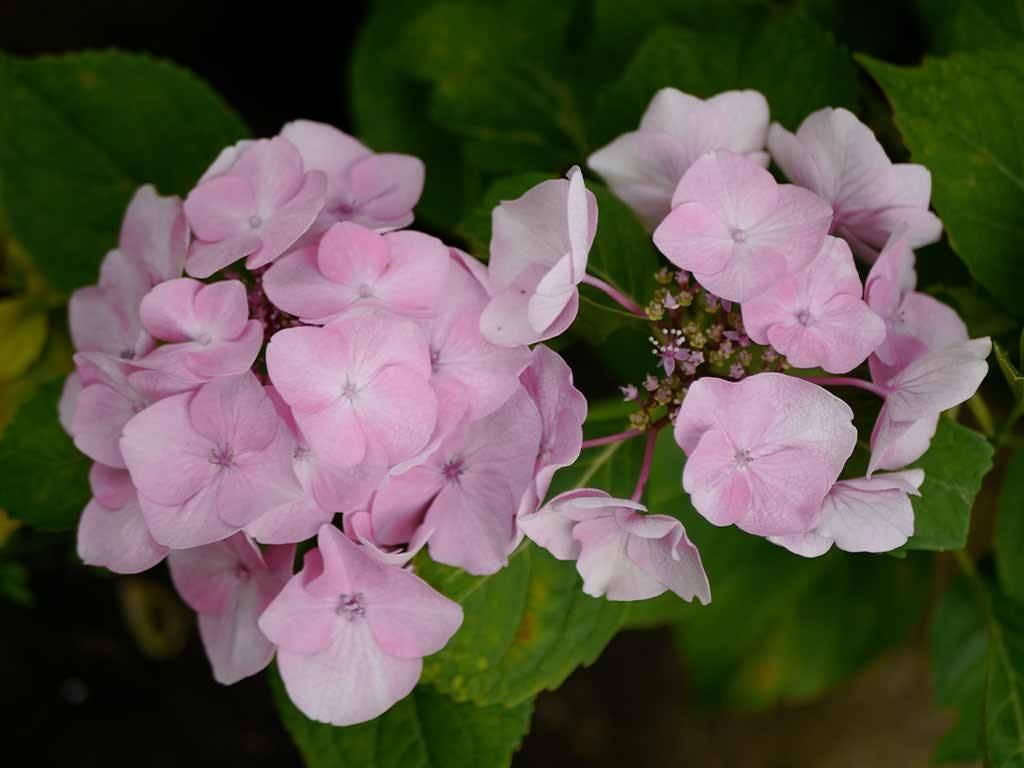 HYDRANGEA - macrophylla - Sweet Dreams
