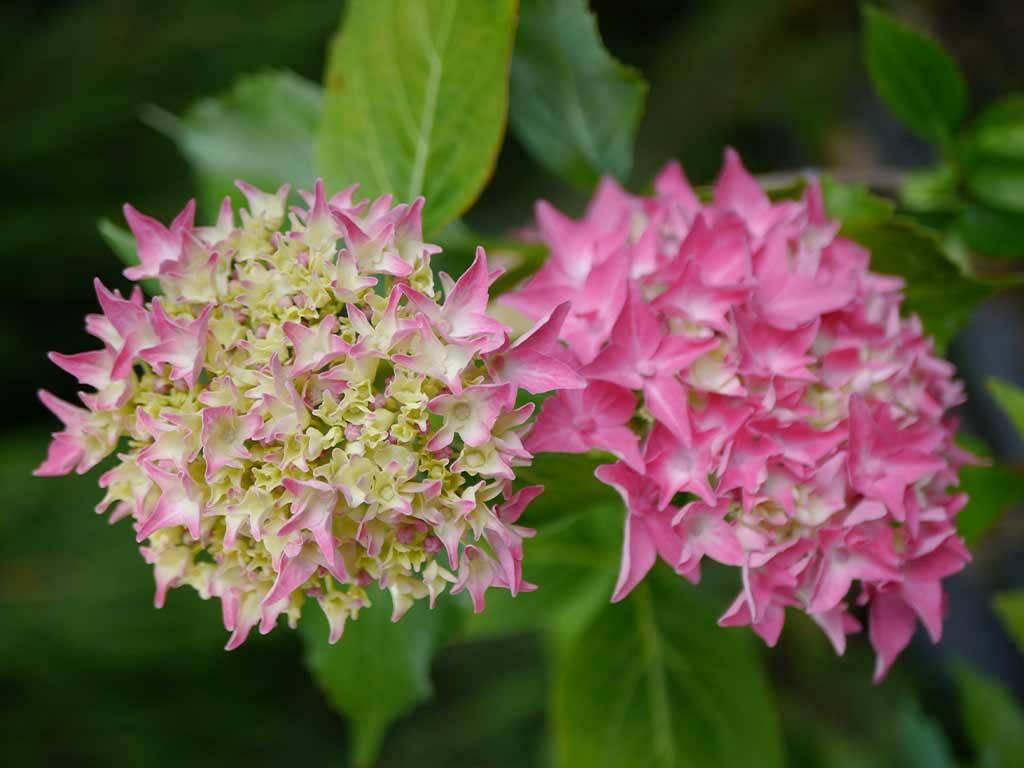 HYDRANGEA - macrophylla - Tovelit
