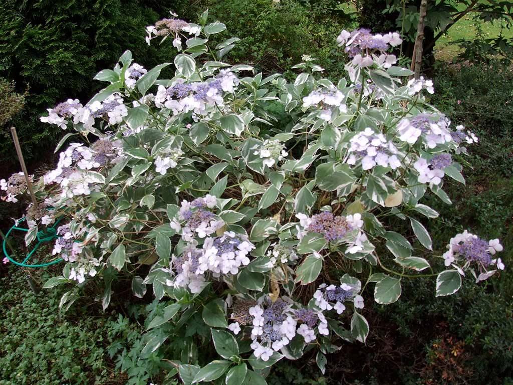 HYDRANGEA - macrophylla - Tricolor