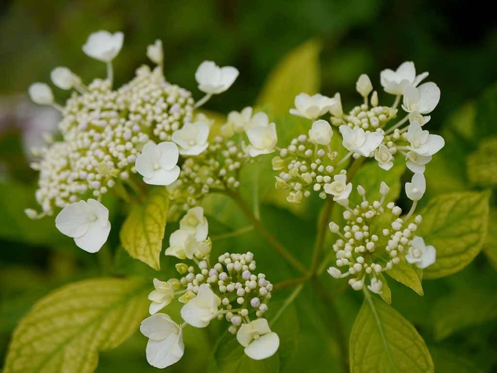 HYDRANGEA - macrophylla - Trophy