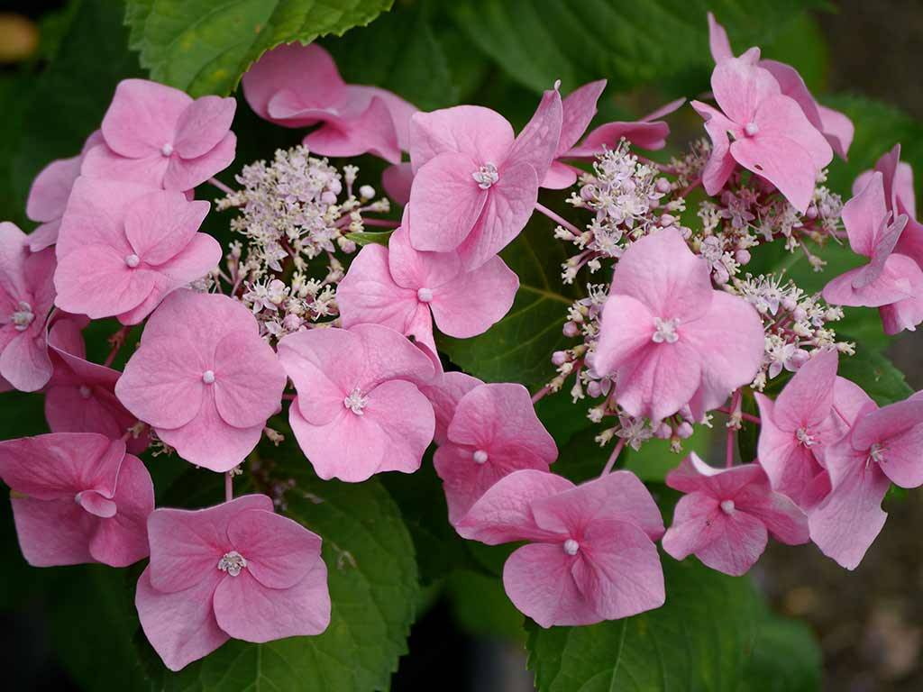 HYDRANGEA - macrophylla - Twilight
