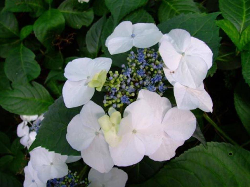 HYDRANGEA - macrophylla - Veitchii
