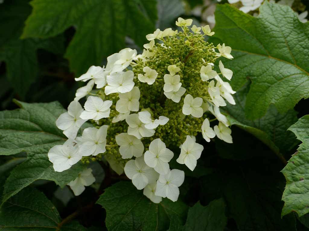 HYDRANGEA - quercifolia - Burgundy