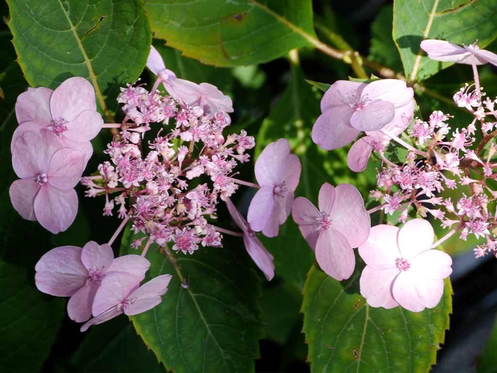 HYDRANGEA - serrata - Spreading Beauty