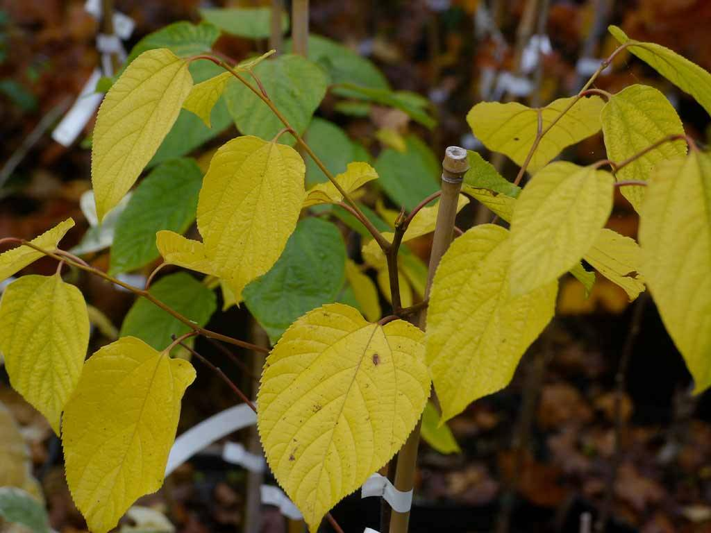 POLIOTHYRSIS - sinensis -