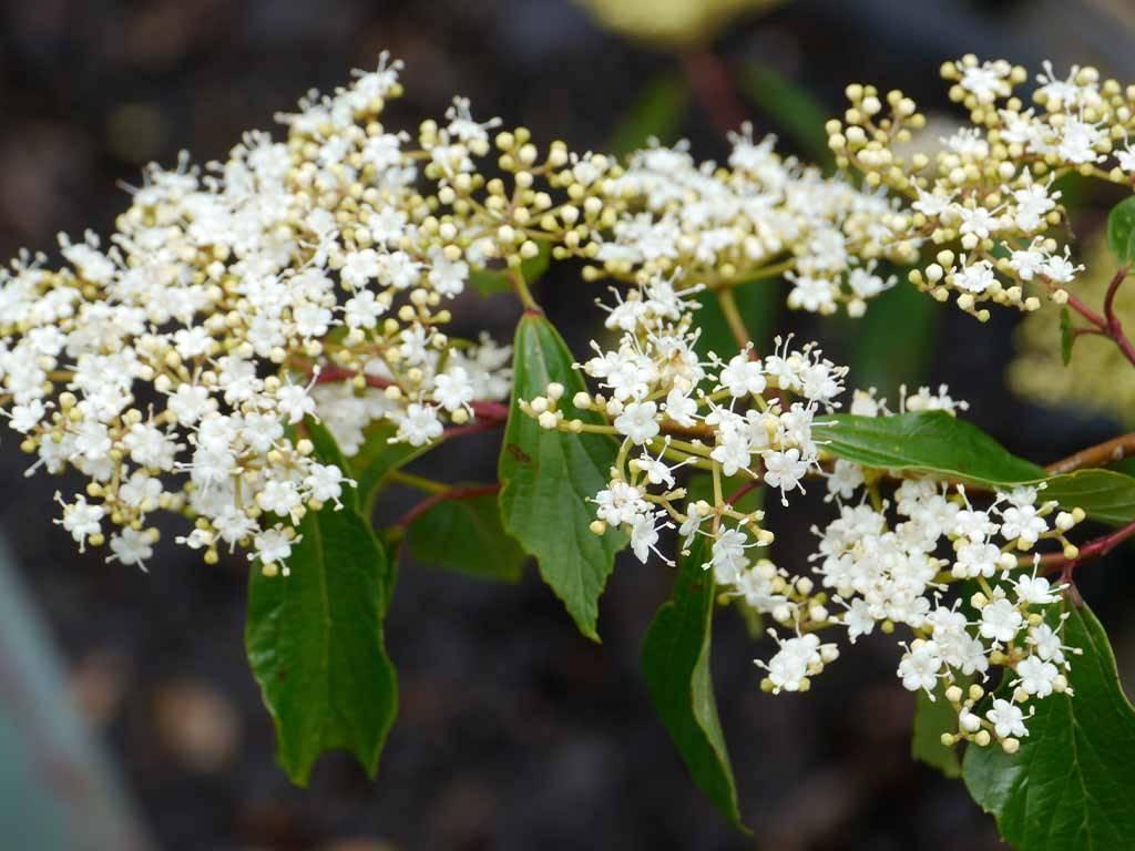 VIBURNUM - betulifolium -